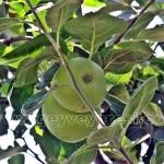 Geyve Elma 702