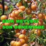 Geyve Erik Meyvesi 4