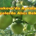 Pamukova'da Ayvalar 1
