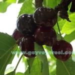 Geyve Kiraz Meyvesi Oldu 16