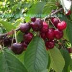Geyve Kiraz Meyvesi Oldu 20