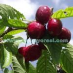 Geyve Kiraz Meyvesi Oldu 21