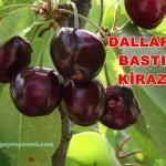 Geyve Kiraz Meyvesi Oldu 27