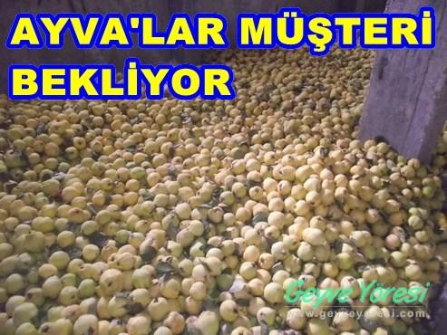 Geyve'de Ayva'lar Depolarda Müşteri Bekliyor..