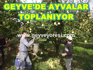 Geyve ve Civarında AYVA  Meyvesinin Hasadı başladı.