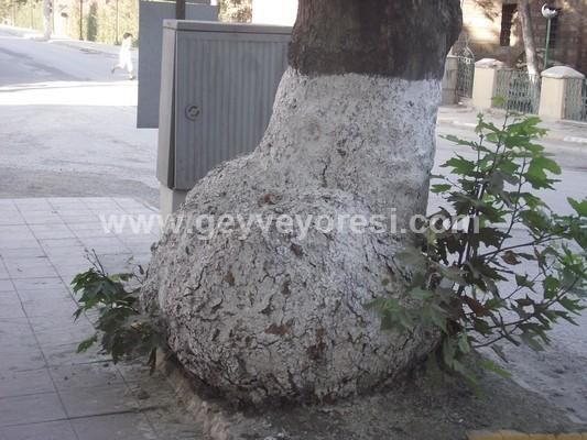 Bu Ağaç Şaşırtıyor Geyve Merkezde Bulunan Bu Ağaç