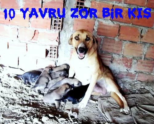 Sokak Köpeklerinin Kaderi Budur Sahipsizlik..