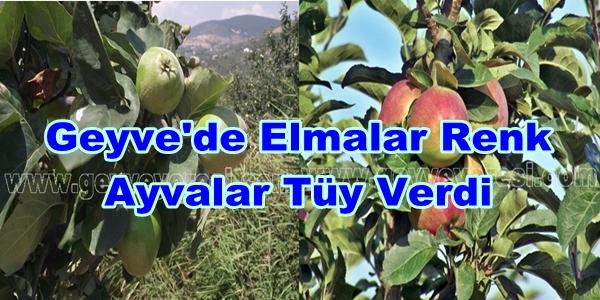 Geyve'de Elmalar Renk Ayvalar Tüy Verdi