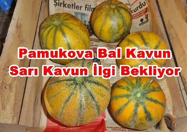 Pamukova Bal Kavun Sarı Kavun İlgi Bekliyor
