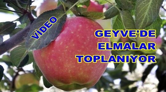Geyve Yöresinde Elma Meyvesi Toplanıyor