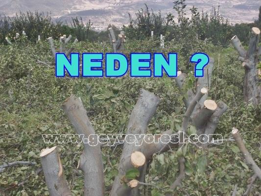 Ayva Bahçeleri Neden Kesiliyor?
