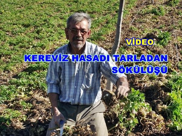 Kereviz Hasadı Tarla Çalışmas