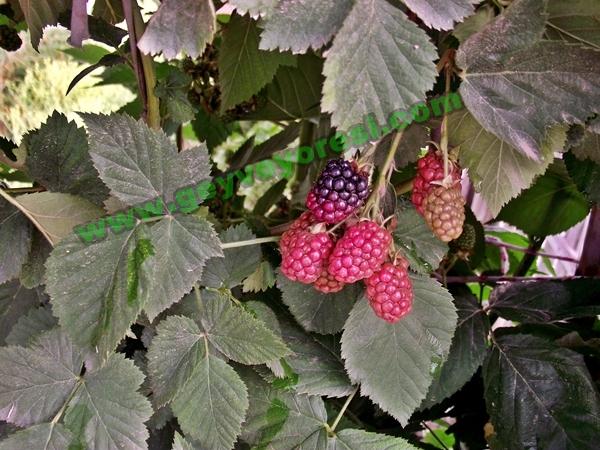 Geyvelilerin Yeni Gözdesi Ahu Dudu Meyvesi